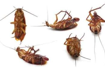 las cucarachas causan muerte