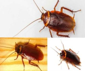 Cucaracha Americana - Veneno para cucarachas