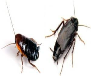 Cucaracha Oriental - Veneno para cucarachas