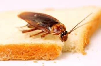 Como se alimentan las cucarachas