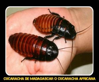 Cucaracha de Madagascar - Veneno para Cucarachas