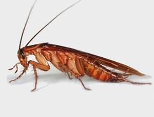 periplaneta americana - Veneno para Cucarachas