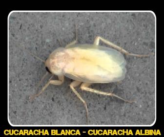 cucaracha albina - Veneno para Cucarachas