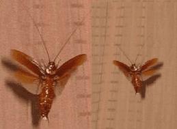 las cucarachas voladoras