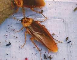 - Veneno para Cucarachas