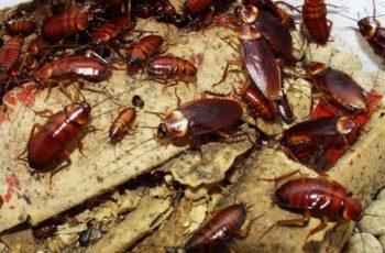 tipos de cucarachas que vuelan