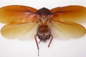 cucarachas con alas