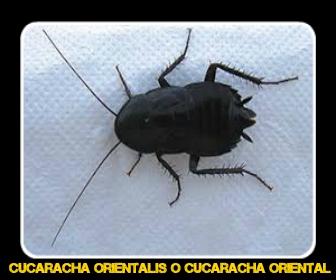 Cucaracha orientalis - Veneno para Cucarachas