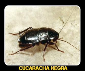 cucaracha negra en casa - Veneno para Cucarachas