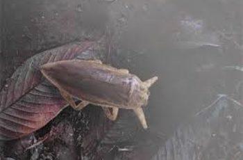 cucarachas de agua