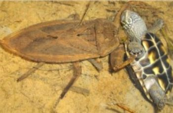 Cucarachas de agua pican