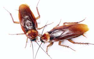 Enfermedades que son transmitidas por las cucarachas