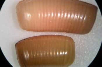 huevos de cucarachas