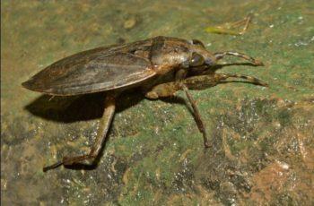 La cucaracha puede picar