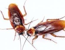 enfermedades que transmiten las cucarachas