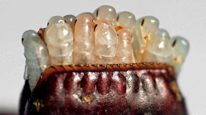 cuánto tarda en crecer una cucaracha