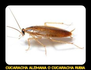 Cucaracha Alemana - Veneno para cucarachas