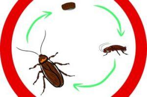 Ciclo de vida de las cucarachas